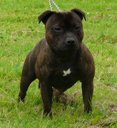 Contagiousmagiccom Chiots Staffordshire Bull Terrier