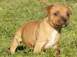 Full Red de Contagious Magic : staffordshire bull terrier