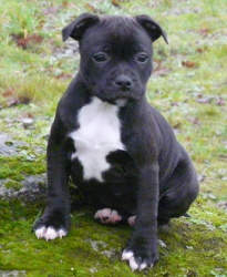 Jelly Baby de Contagious Magic : femelle staffordshire bull terrier