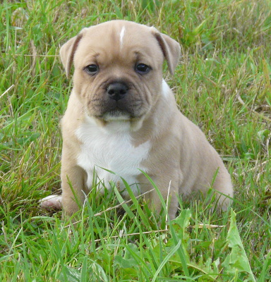 chiot bringe staffordshire bull terrier