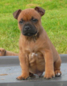 staffordshire bull terrier chiot1