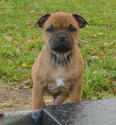 staffordshire bull terrier chiot